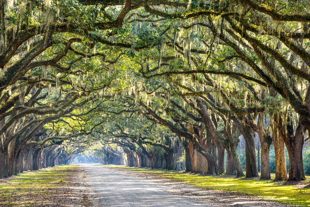 Savannah, Georgia, USA oak tree lined road at historic Wormsloe Plantation..jpeg